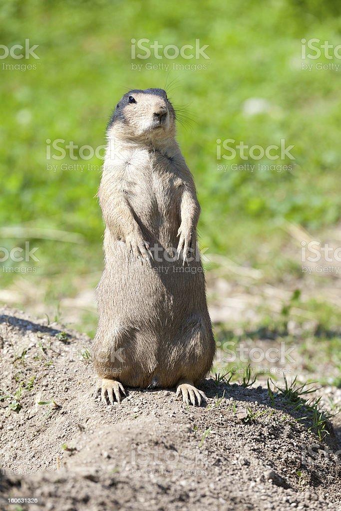 groundhog royalty-free stock photo
