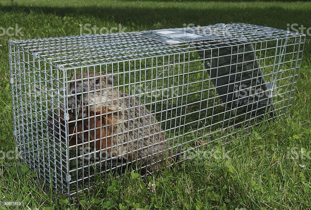 Groundhog  trap stock photo