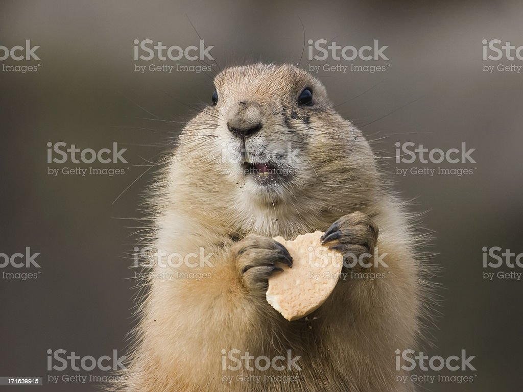 Groundhog with cookie stock photo