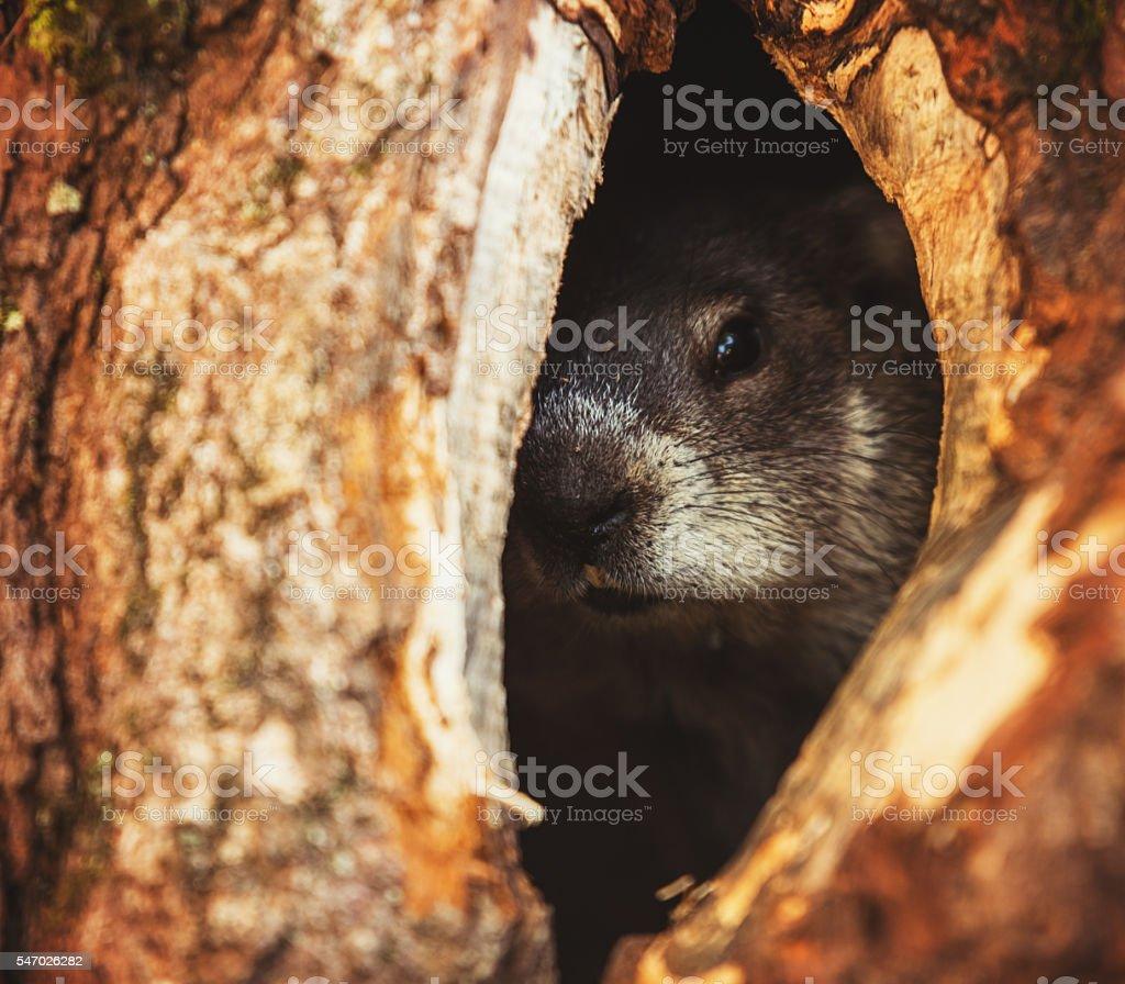 Groundhog's Home stock photo