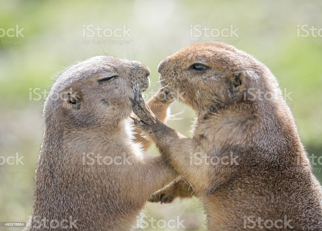 Groundhogs touching and loving stock photo