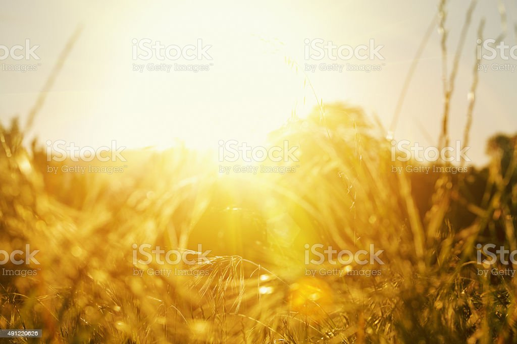 Ground-level shot through meadow grasses at sun with lens flare stock photo