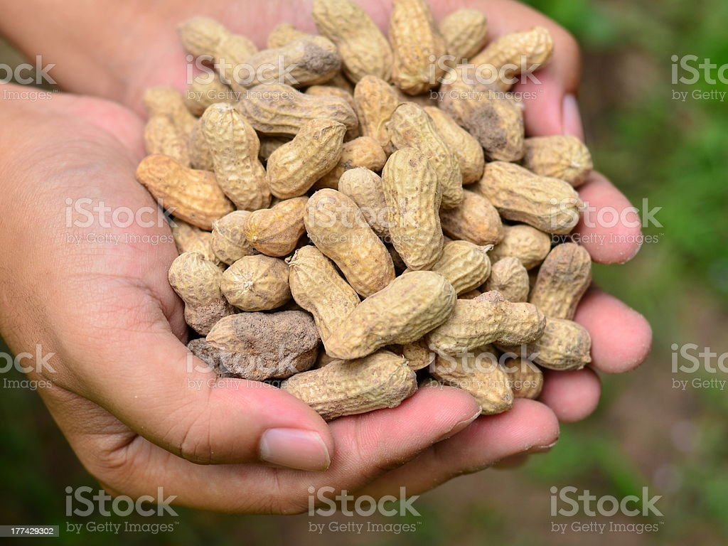 Groundnuts on farmer hand stock photo