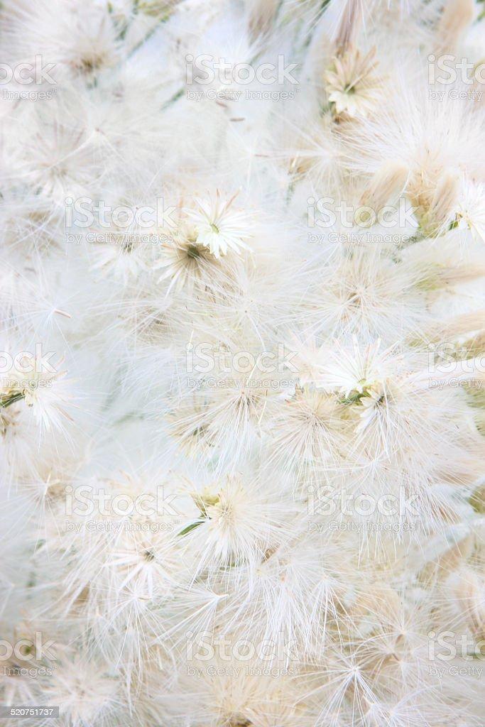 Groundsel Bush Baccharis halimifolia Flower Seeds stock photo