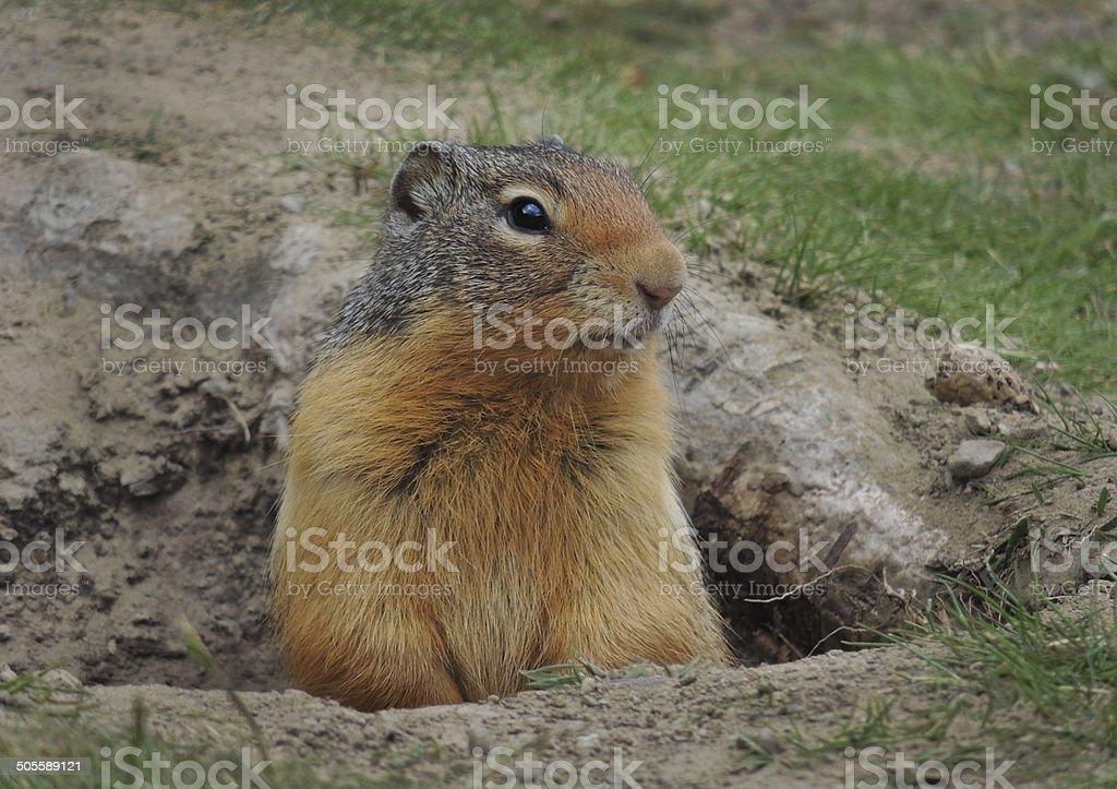 GroundSquirrel stock photo