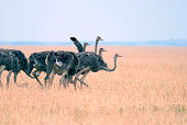 group, a flock of ostriches grazing in the African savanna