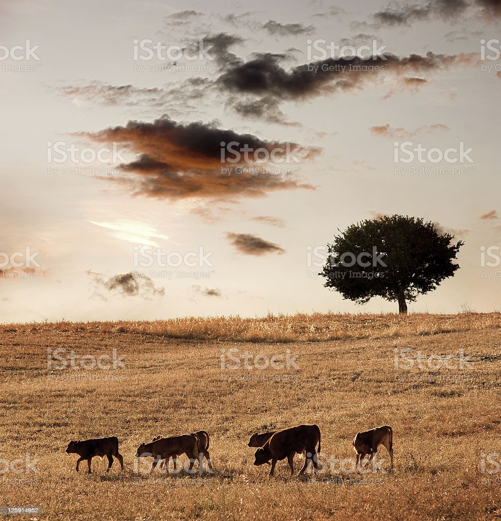 Group calves going through field with tree oak to sunset royalty-free stock photo
