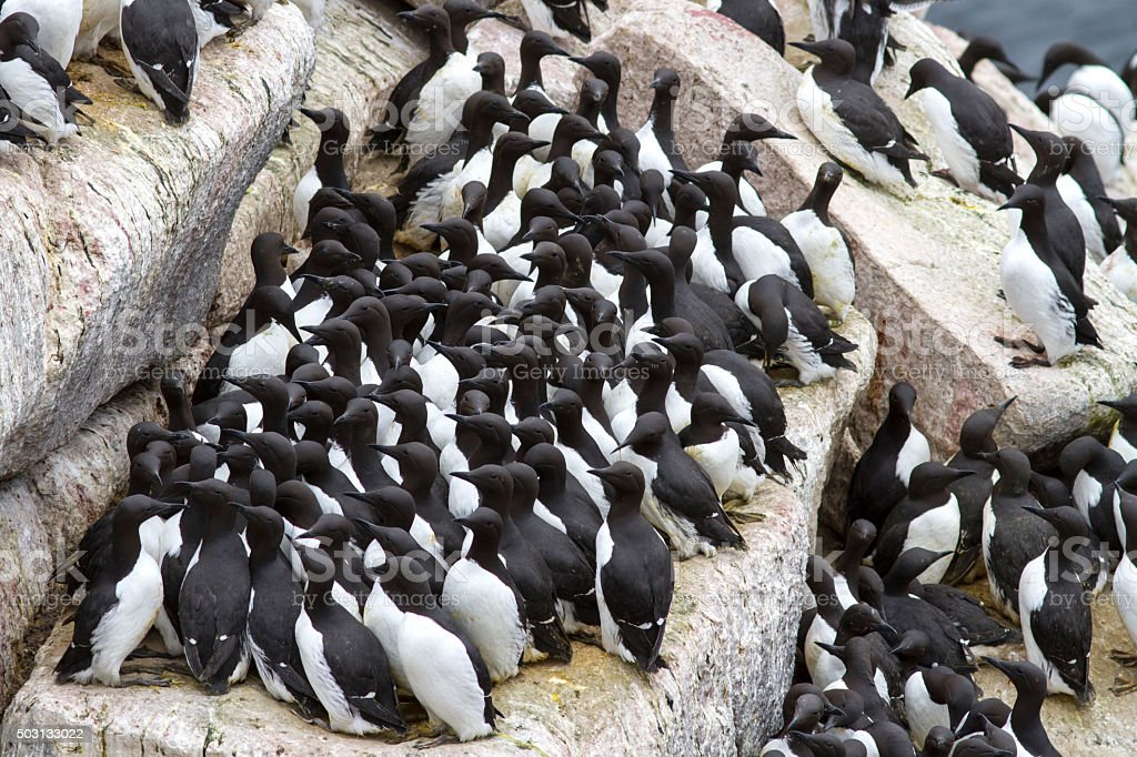 Group common murre in a colony of sea birds stock photo