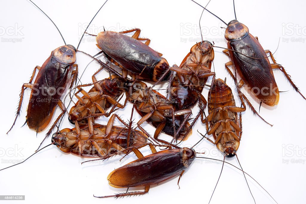 Group dead cockroach isolate on white background stock photo