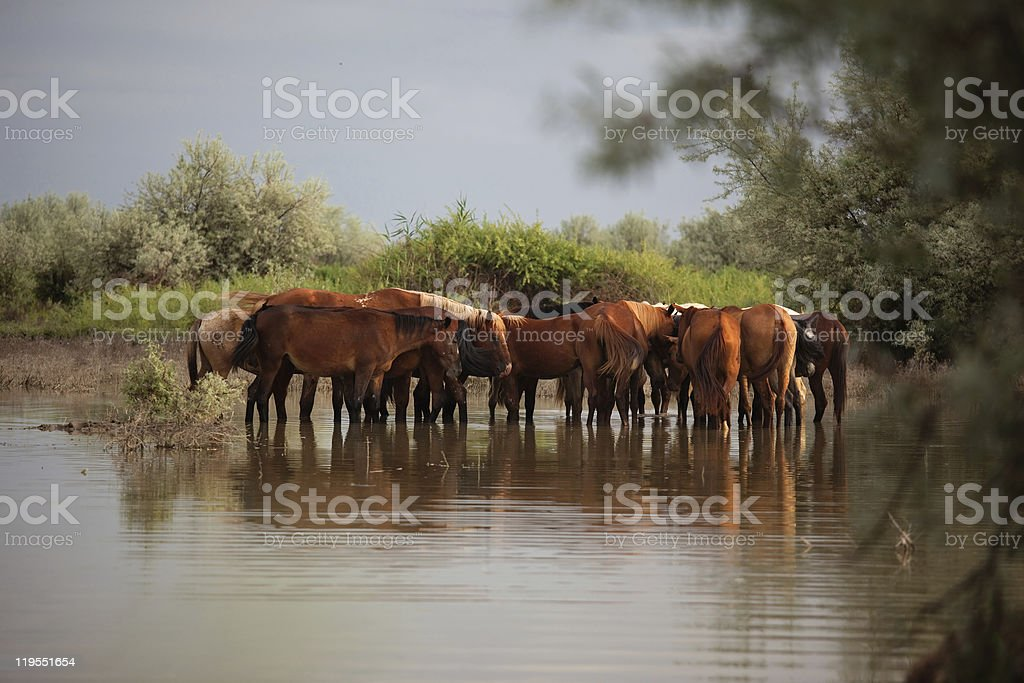 Group horses in water stock photo