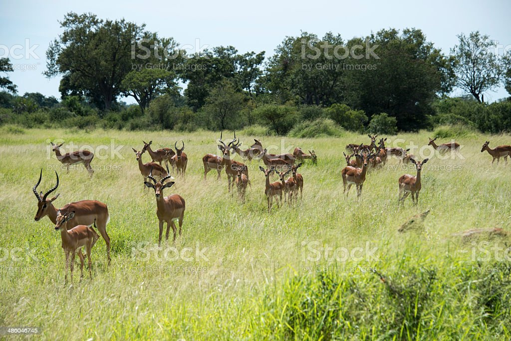 group impala stock photo