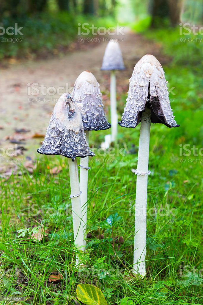 Group ink mushrooms near forest path in fall stock photo