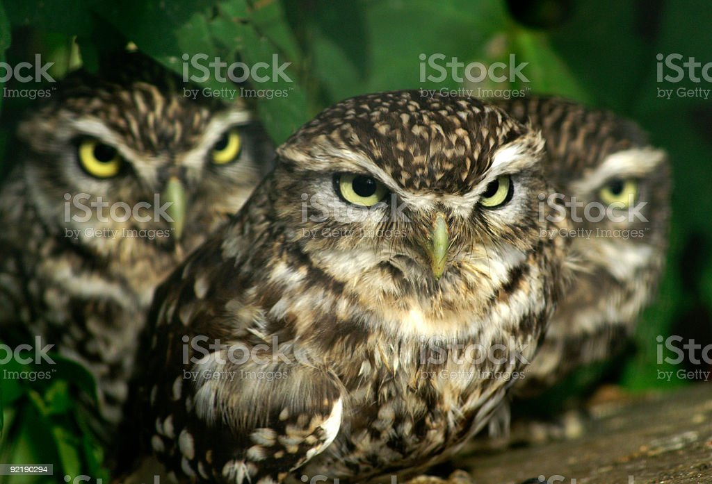 Group of 3 Little Owls stock photo