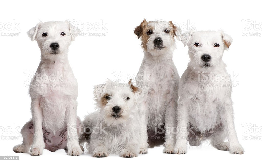 Group of 4 dogs : Parson Russell Terrier royalty-free stock photo
