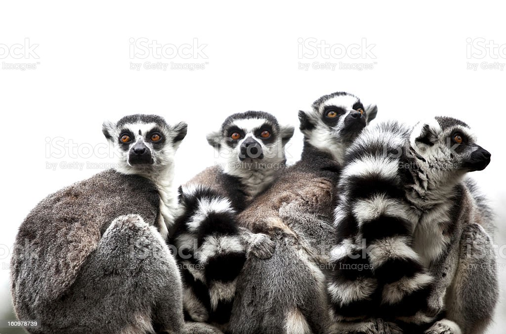 Group of 4 Ring-tailed Lemurs sitting together royalty-free stock photo