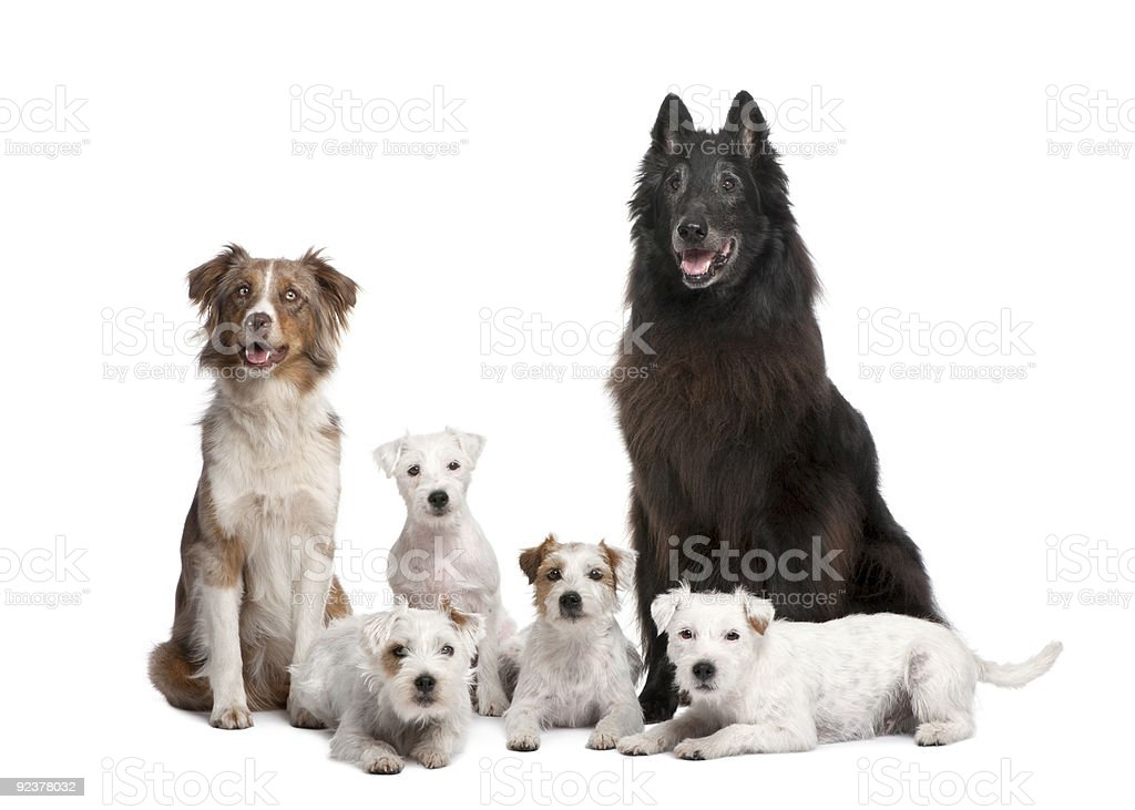 Group of 5 dogs; Parson Russell Terrier, Australian Shepherd royalty-free stock photo