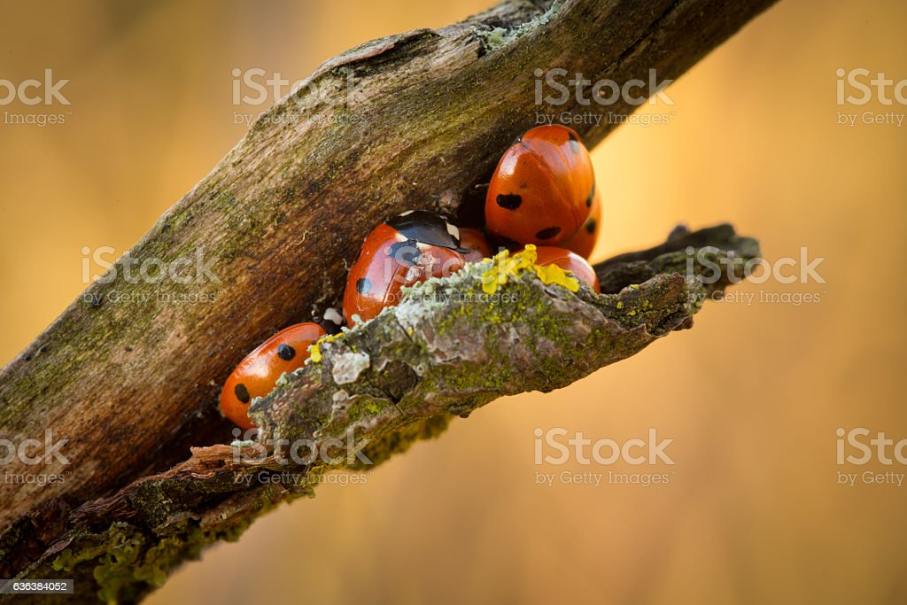 Group of 7 Spot Ladybirds stock photo