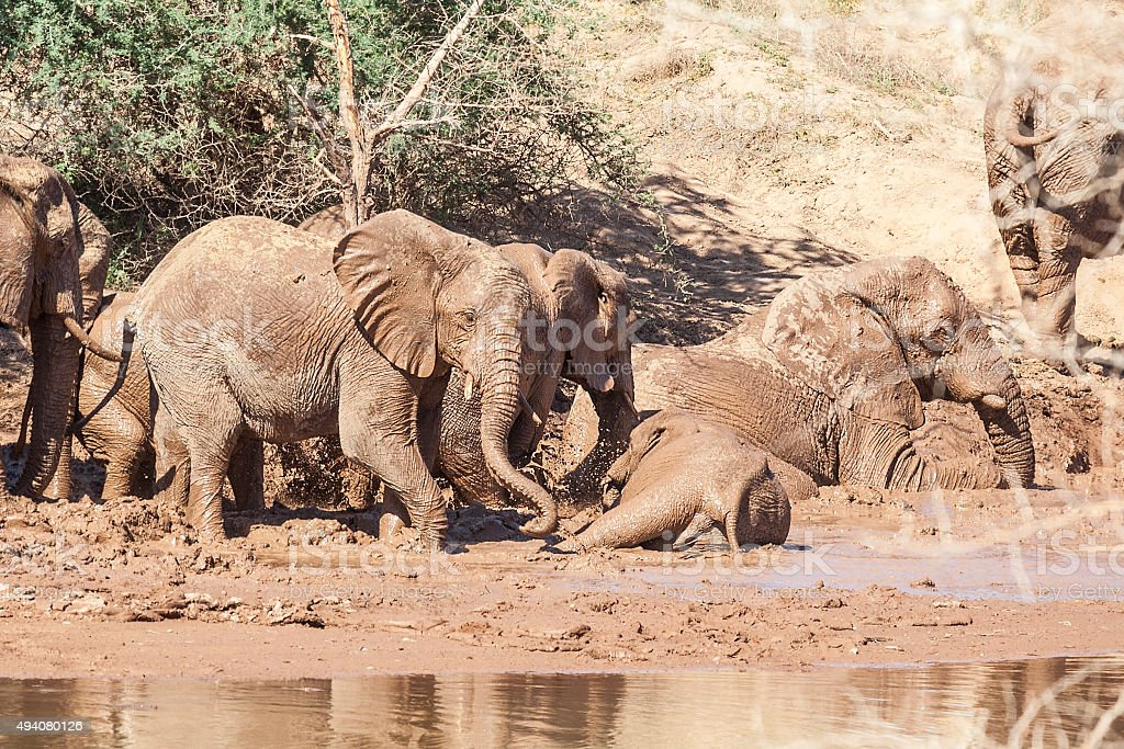 Group of African desert elephants taking a mud bath stock photo