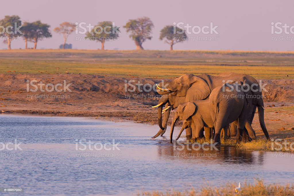 Group of African Elephants drinking from Chobe River stock photo