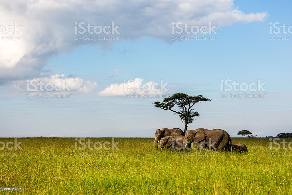 Group of African elephants grazing in the Serengeti stock photo