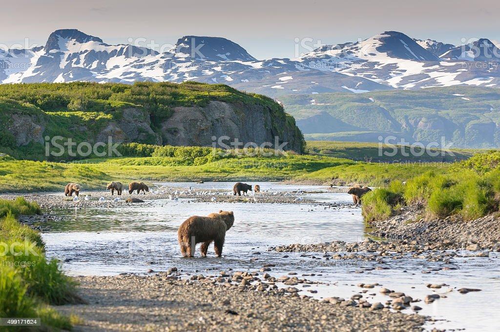 Group of Alaska Brown Bears Fishing Salmon at McNeil River stock photo