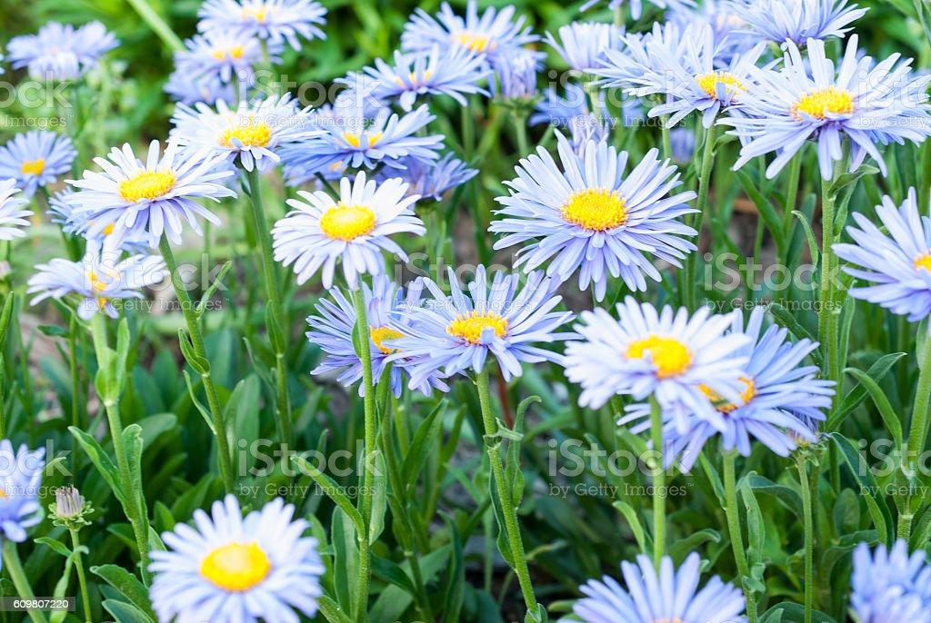 Group of alpine aster flowering. Summer garden stock photo