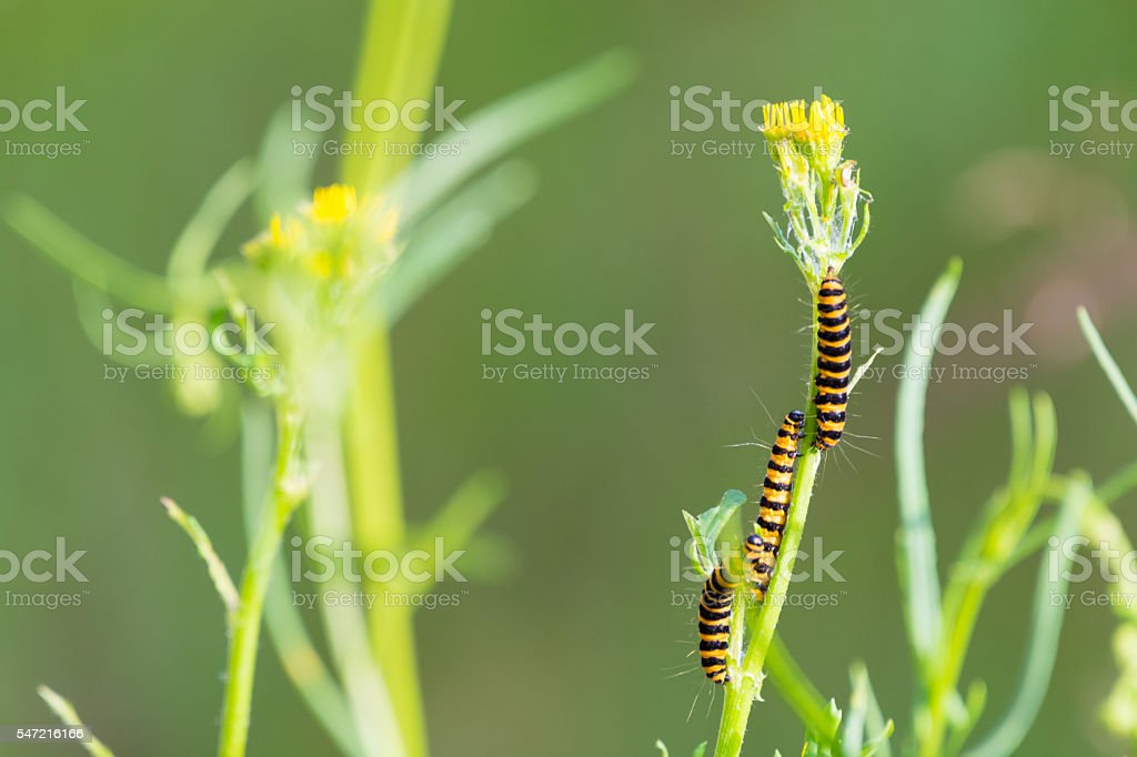 Group of an orange and black striped cinnabar moth caterpillar stock photo