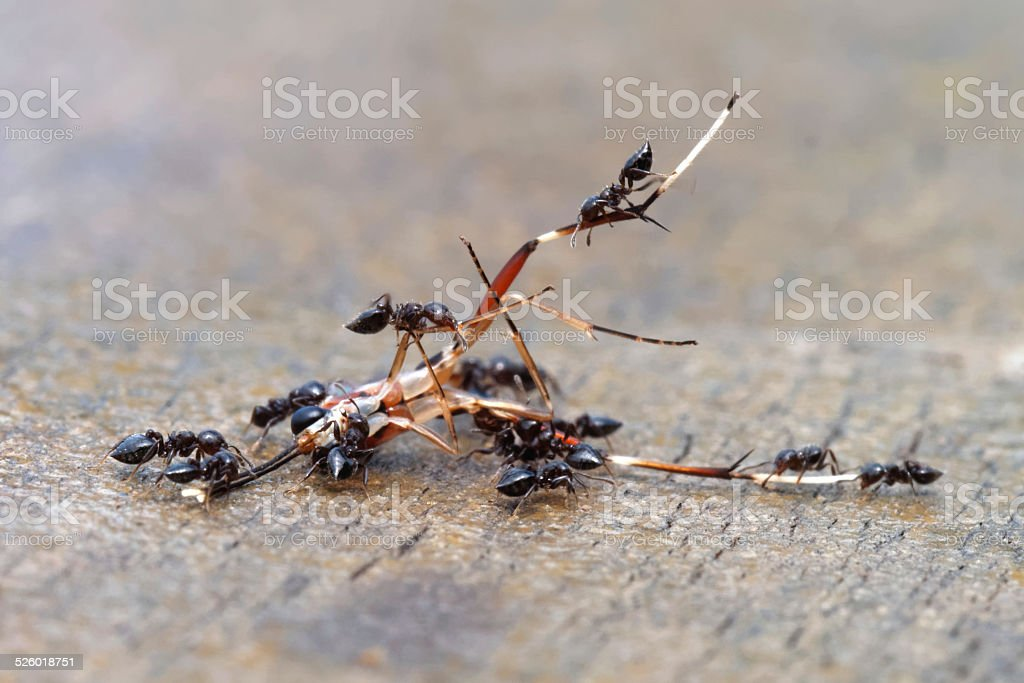 Group of ants devouring an insect. stock photo