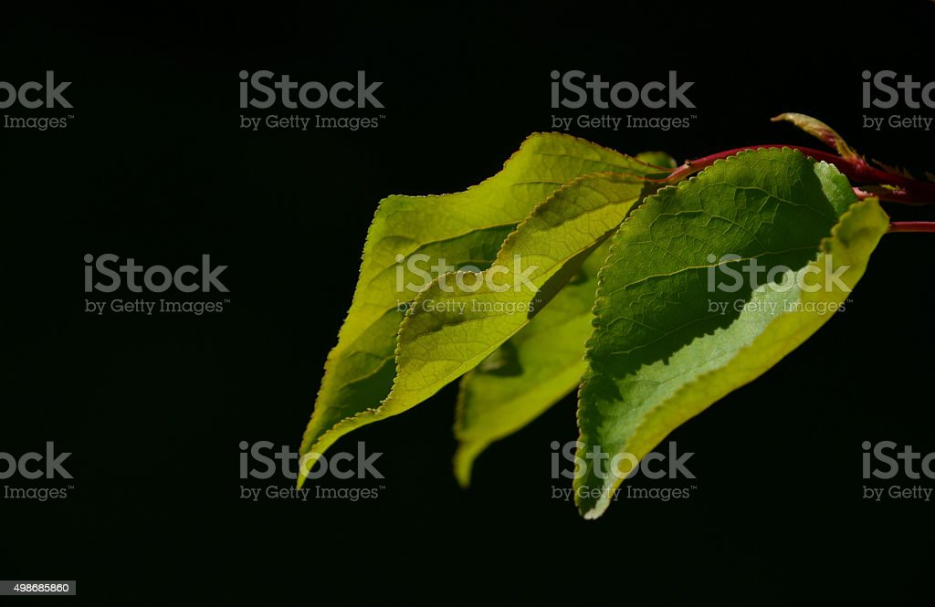 Group of apricot tree leaves in back lighting on black royalty-free stock photo