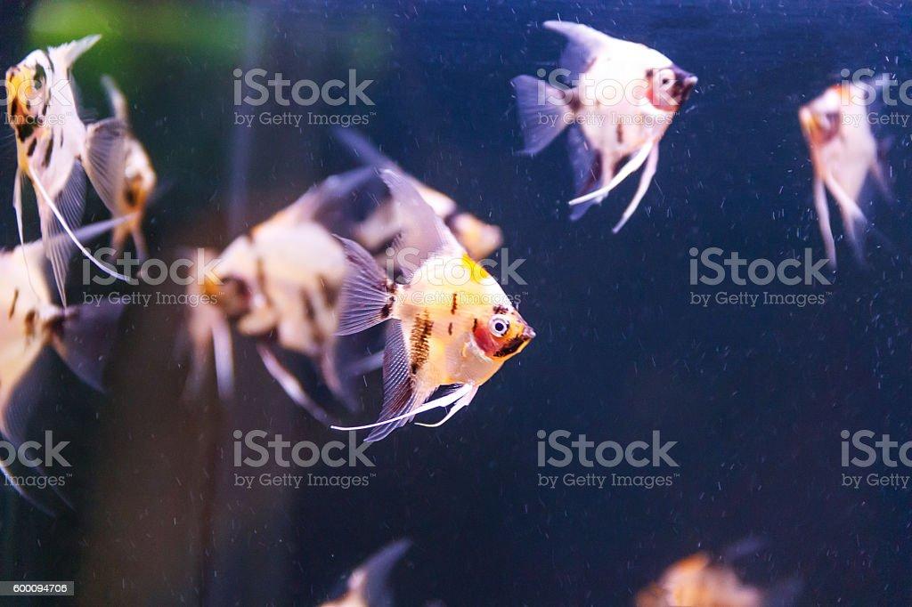 group of aquarium scalare fishes swimming stock photo