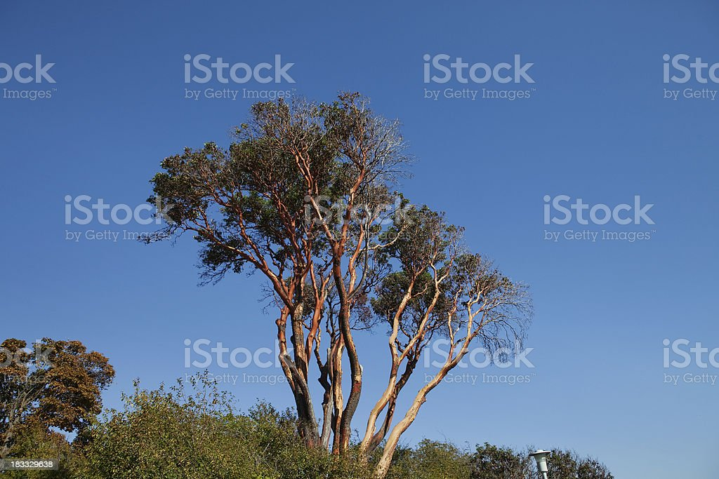 group of arbutus stock photo