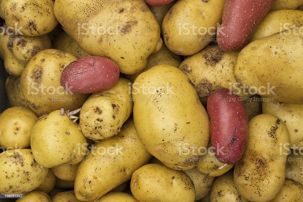 Group of Assorted Potatoes royalty-free stock photo