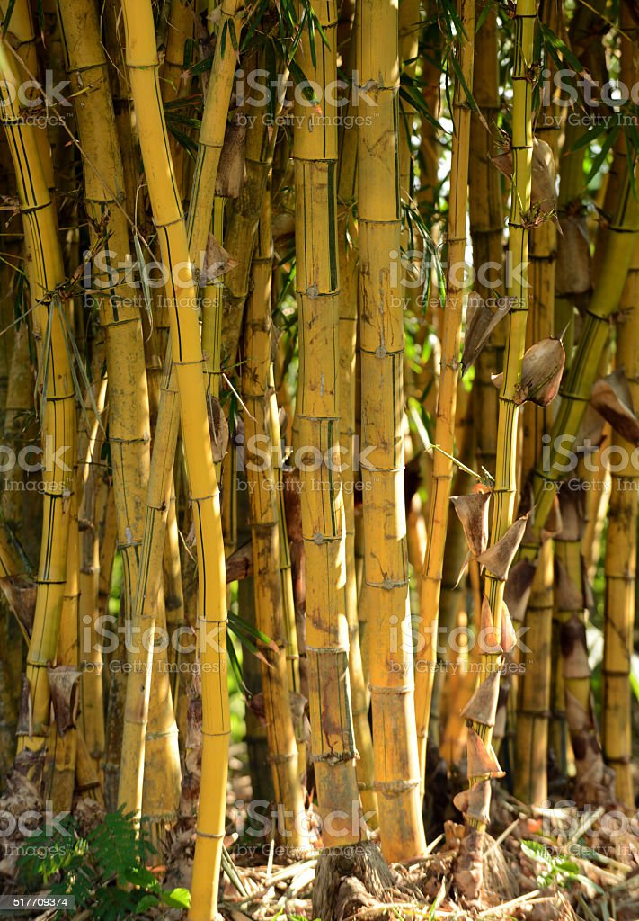 group of bamboo plants growing in the rainforest stock photo