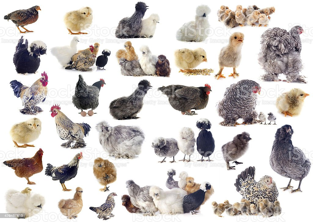 group of bantam royalty-free stock photo