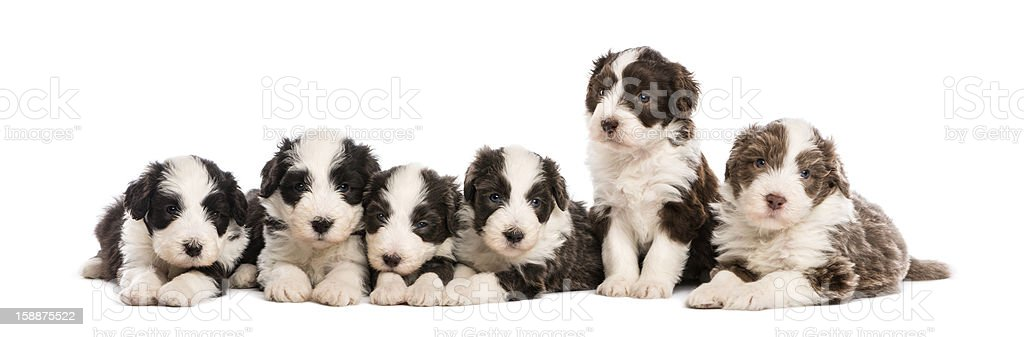 Group of Bearded Collie puppies, 6 weeks old, sitting royalty-free stock photo