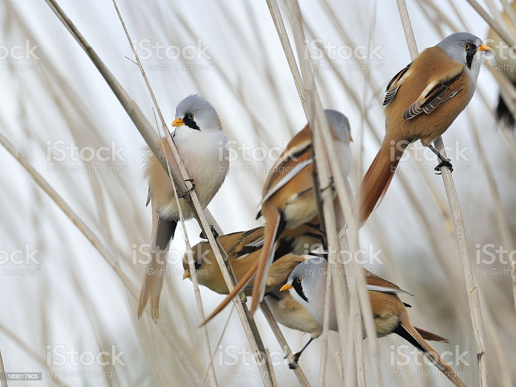 Group of Bearded Reedlings stock photo