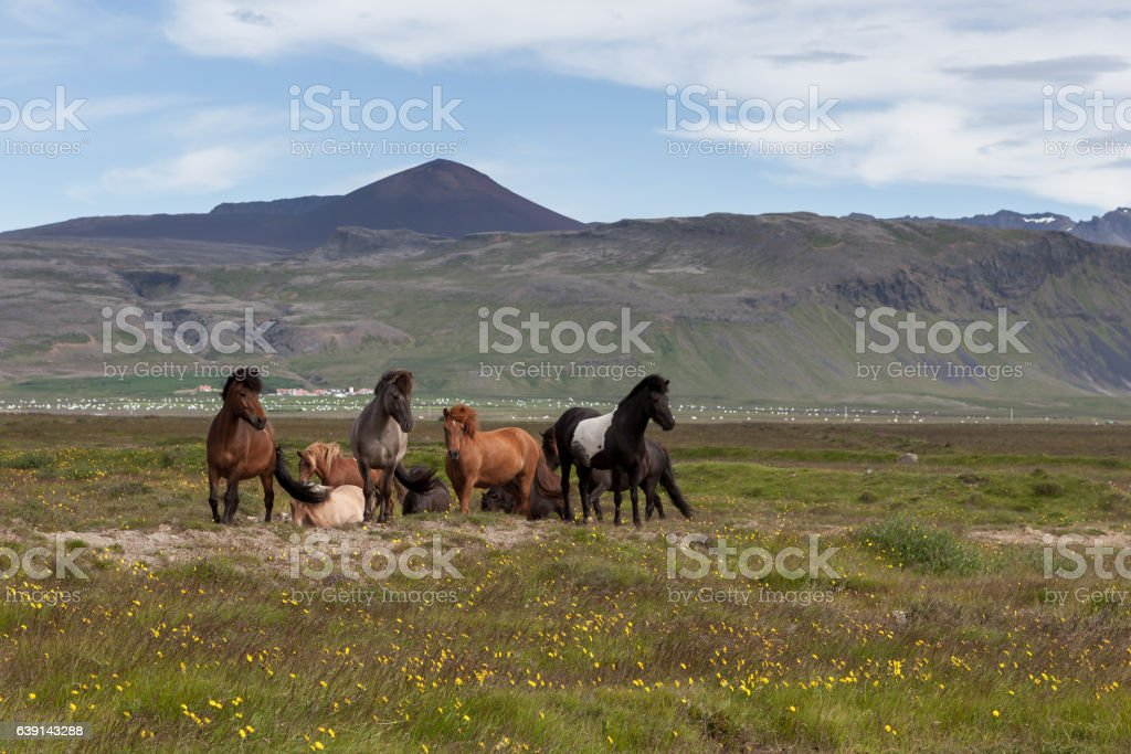 Group of beautiful icelandic horses of white, brown stock photo