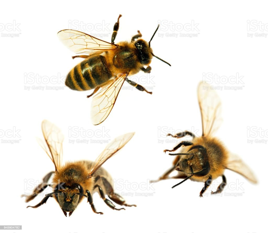 ミツバチの画像 p1_34