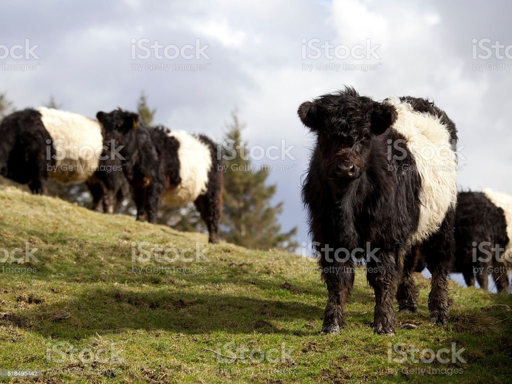 Group of Belted Galloway Cattle stock photo