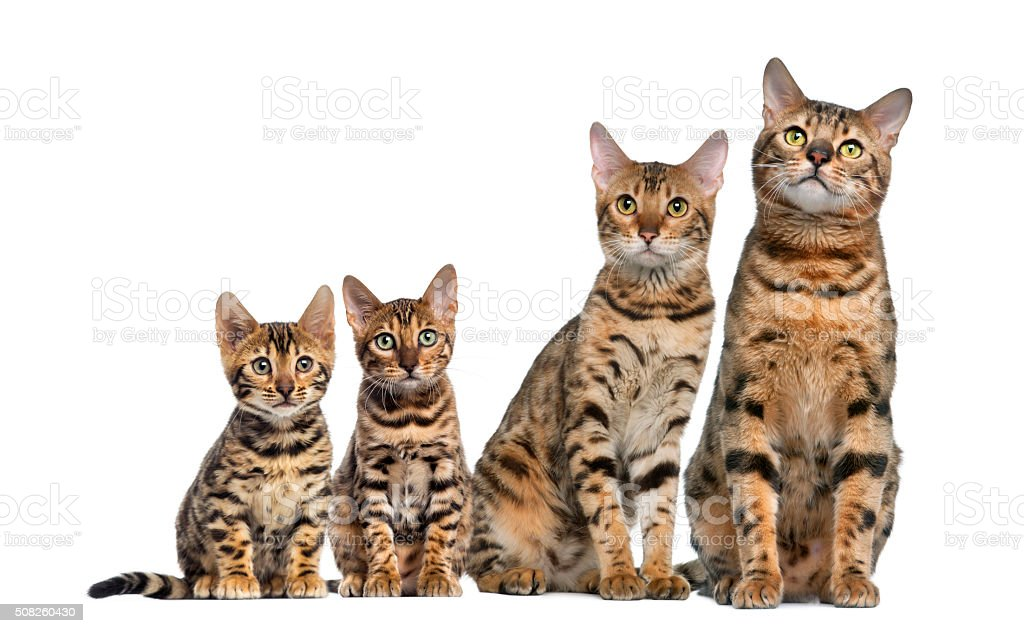 Group of Bengal sitting in front of a white background stock photo