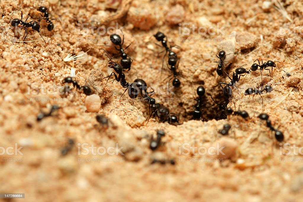 A group of black ants working at the entrance royalty-free stock photo