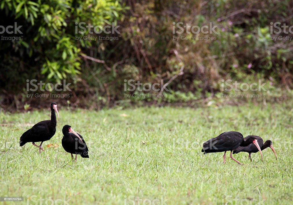 Group of black Ibis stock photo