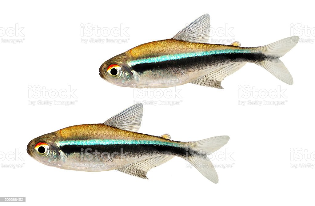 Group of Black Neon Tetra Hyphessobrycon herbertaxelrodi aquarium fish stock photo