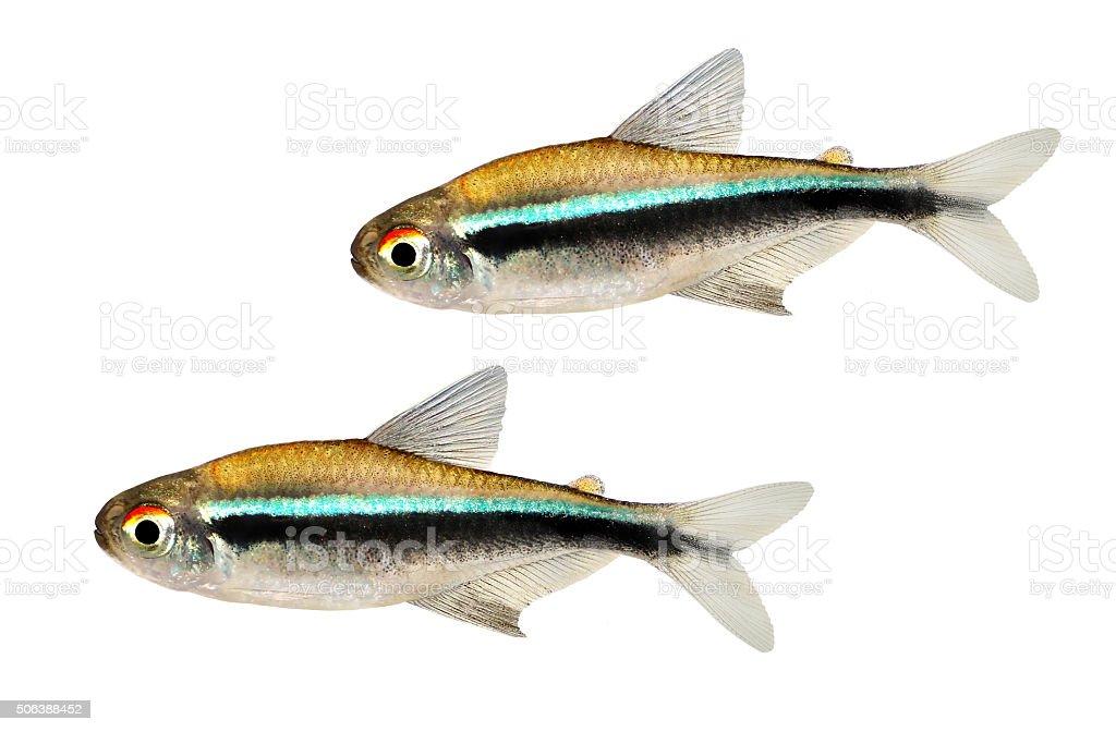 Group of Black Neon Tetra Hyphessobrycon herbertaxelrodi aquarium fish stock photo