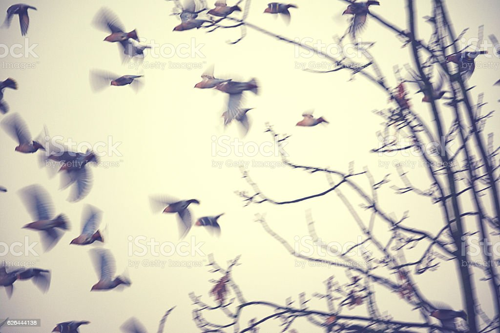 Group of Bohemian waxwing sitting on a tree in winter stock photo