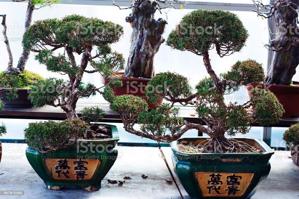 Group of Bonsai Trees stock photo