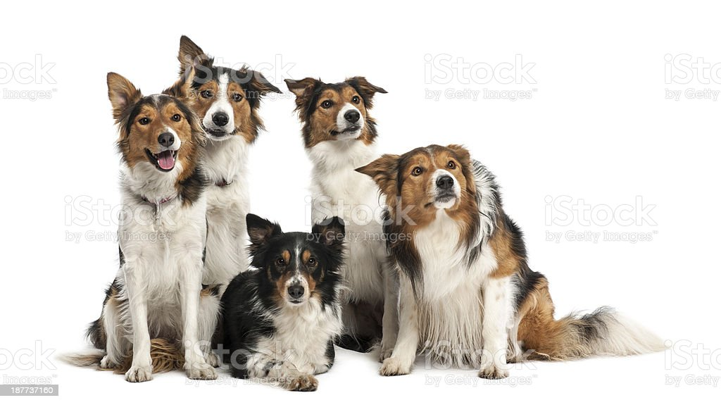 Group of Border Collies against white background stock photo