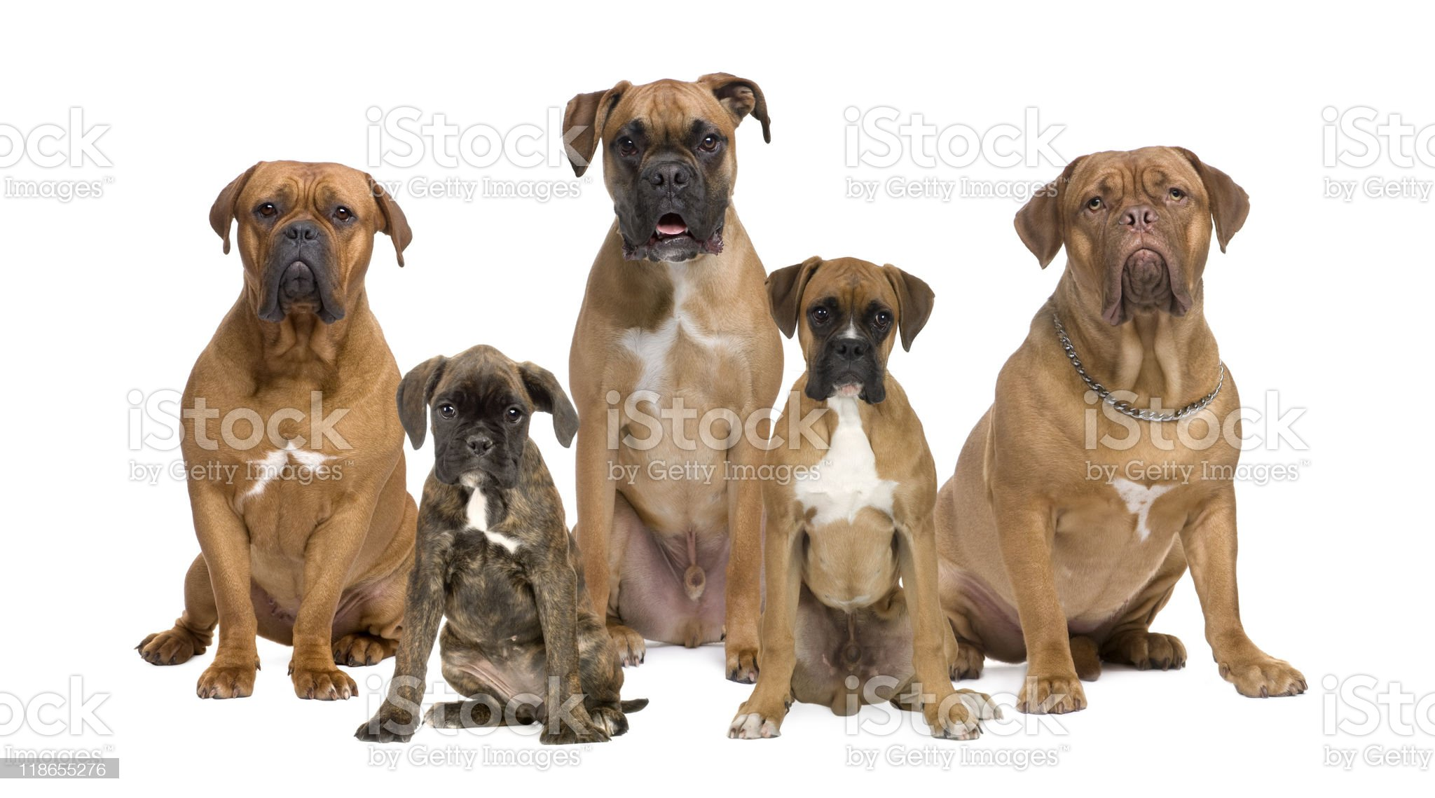 group of boxer dogs and dogue de bordeaux sitting royalty-free stock photo