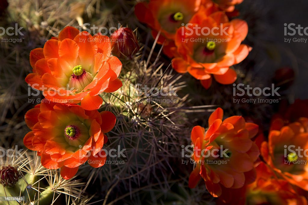 Group of Bright Orange Cactus Flowers royalty-free stock photo