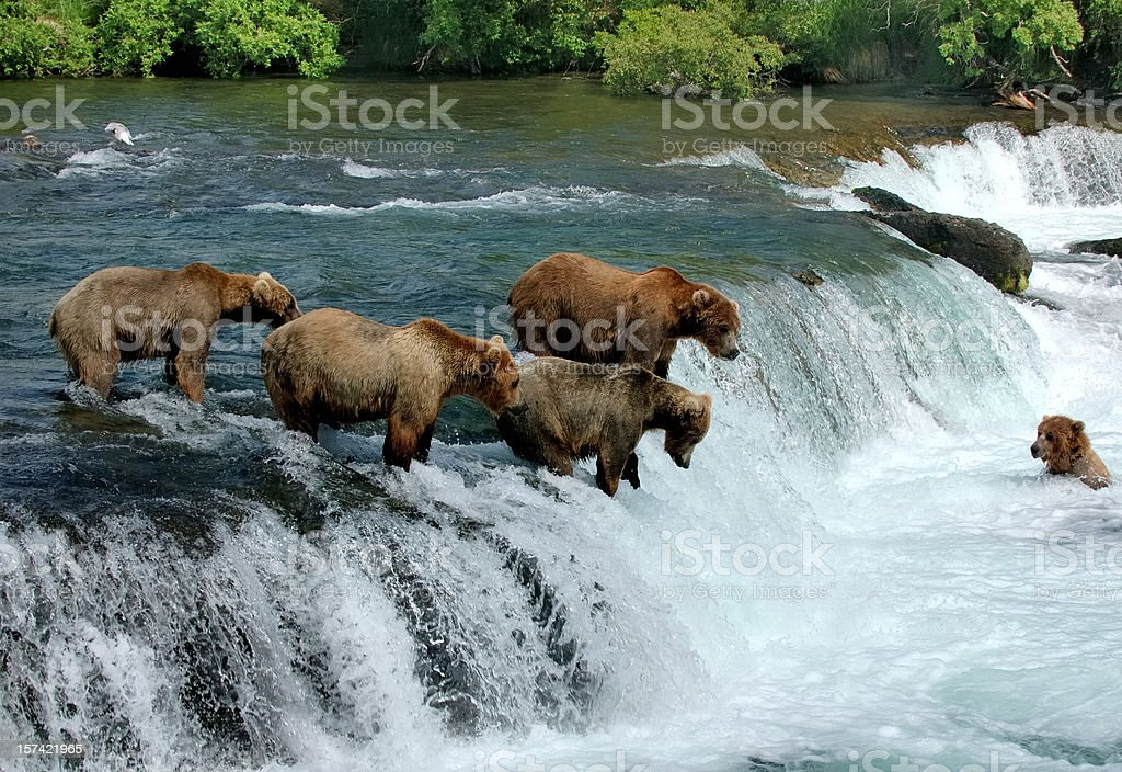 Group of brown bears fishing for salmon by a  waterfall stock photo